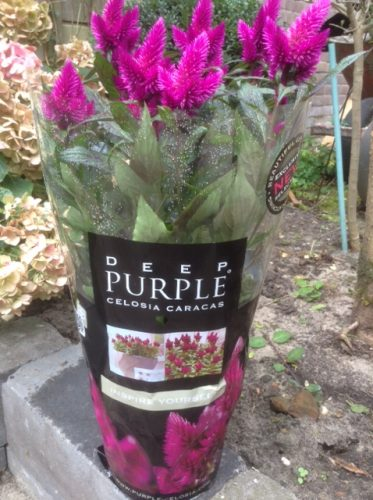 Deep Purple® Celosia Caracas